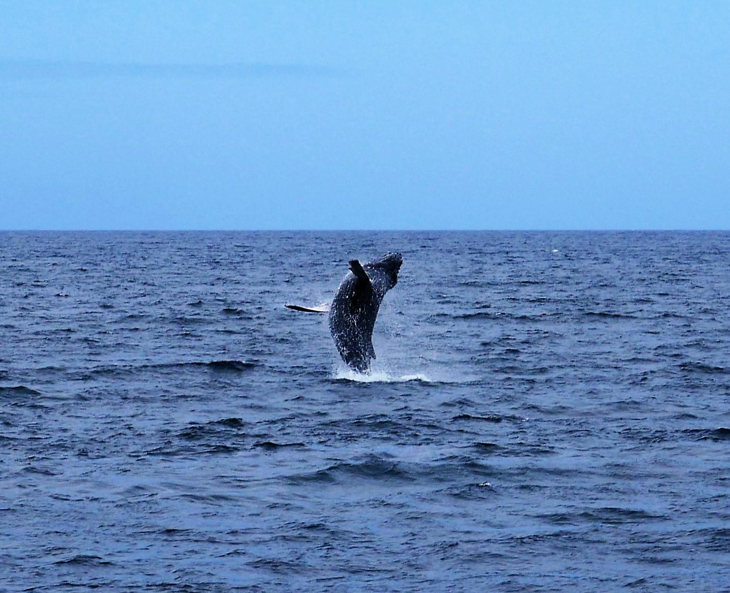 Humpback whale Tonga